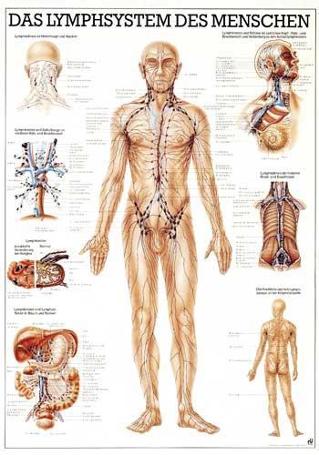 Anatomische Lehrtafel - Lymphsystem | Birke-Wellness